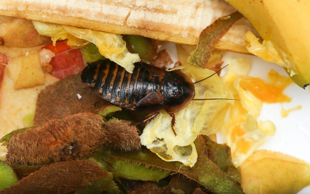 ¿Como saber si estás sufriendo una plaga de cucarachas en tu empresa?